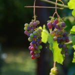 Wein anbauen auf den Kanarischen Inseln